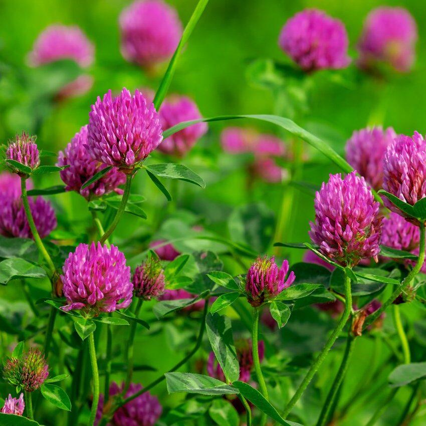 tsvety-klever-zelen-vesna-leto-rozovye